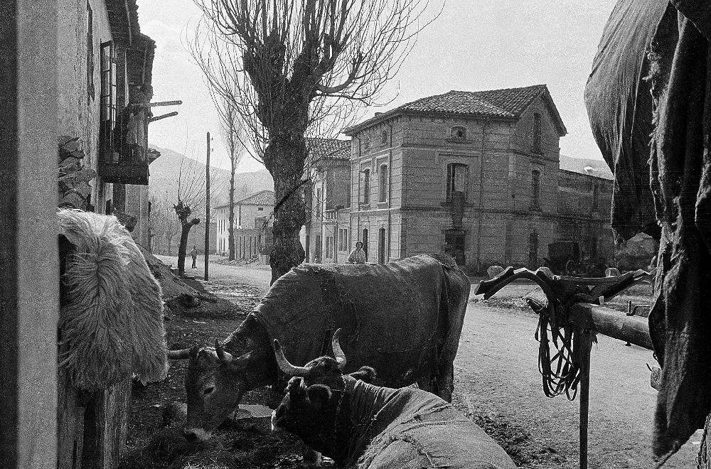Ganado en Sarón en 1920.