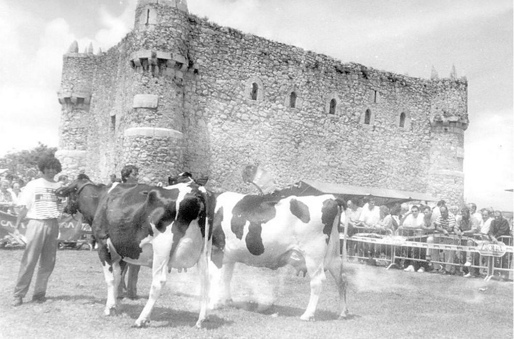 Ganado en Campoo, frente al castillo de Argüeso.